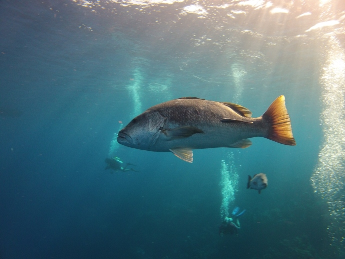 A big old Grouper cruising by.