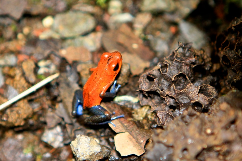 Strawberry Poison Frog. Only a centimetre long.