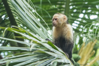 And of course the Capuchin monkeys. A troupe of them will take about an hour to move through the yard.