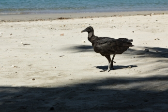 Vultures working hard to keep the beach and kitchen area clean.