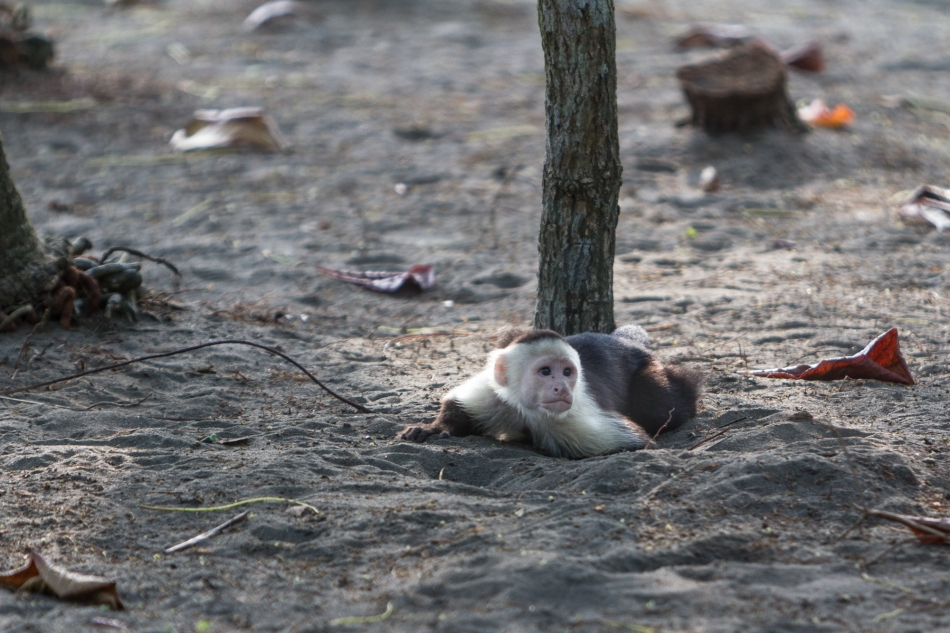 This little fellow seemed a little confused as to where to hide. I am amazed by the time these monkeys spend on the ground.