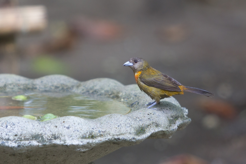 Tanager enjoying the bird bath.