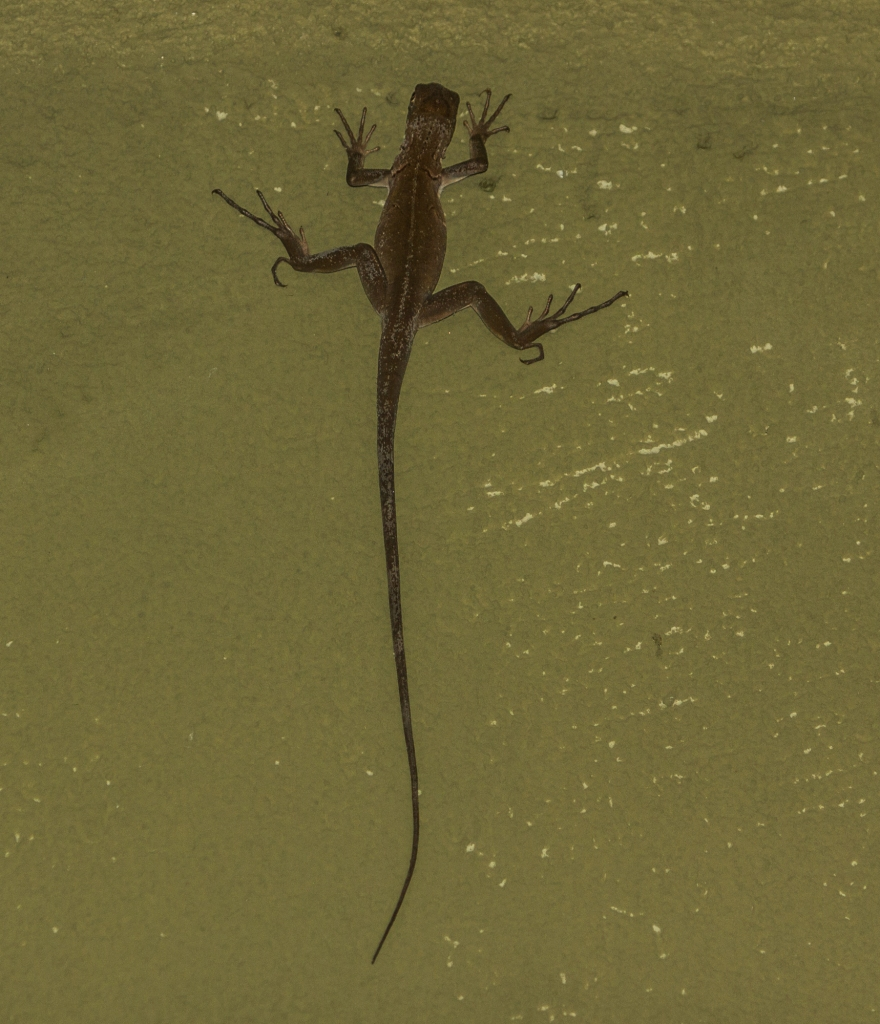 The newest creature to invade us is the  Jesus Christ, apparently they can run on water (Basilisk Lizards). Unfortunately for them, they are the favourite food of everything else around here.