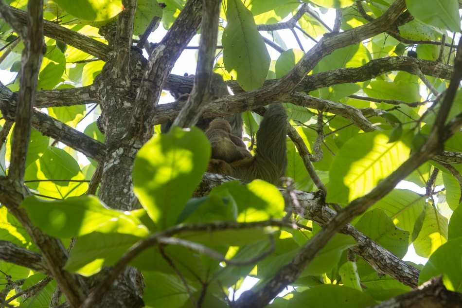 Momma sloth did not stop their escape until they were at the very top of the tree. A healthy 40ft (12 metres) above the ground.