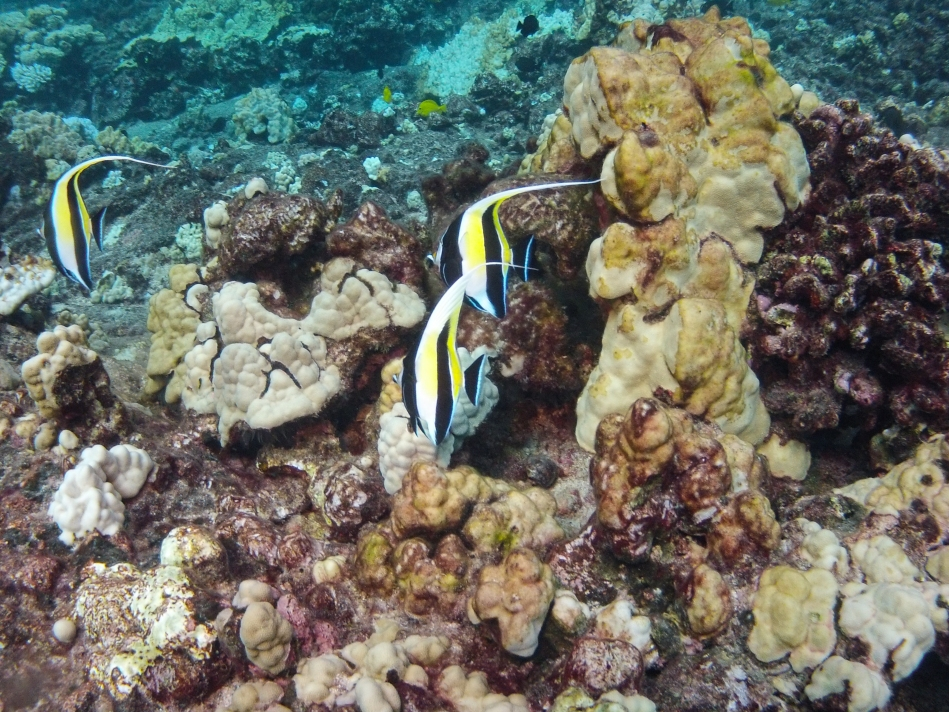 Moorish idol fish drifting around in groups of three or four.