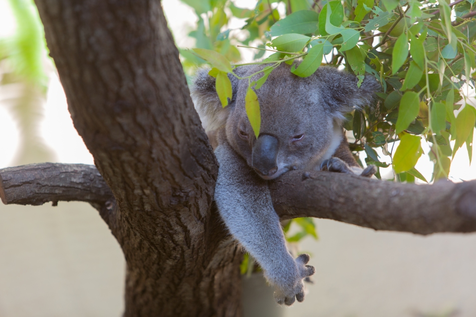 A recovering Koala at the Daisy Hill Koala Sanctuary.