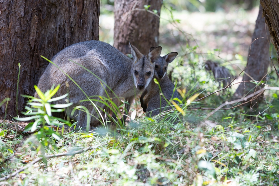 A mother wallaby and her baby near the Daisy Hill Koala Bear Sanctuary.
