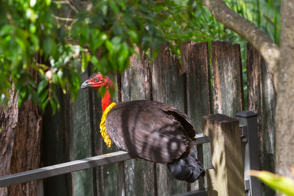 Bush Turkey