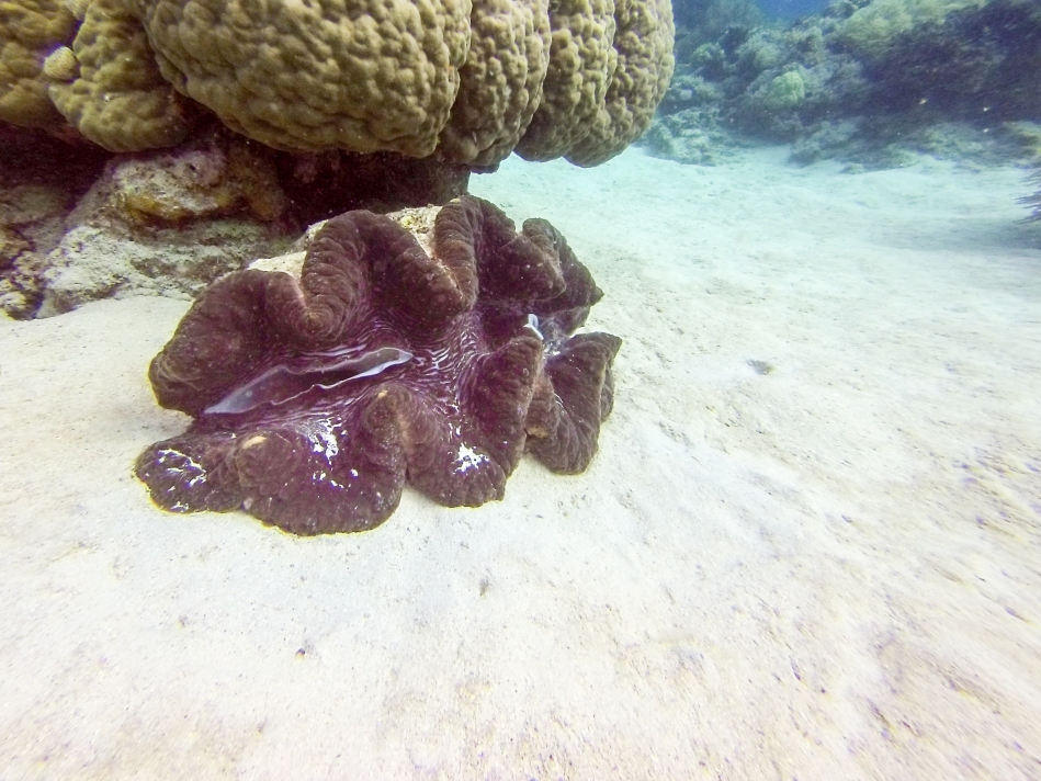 Giant clams live over 100 years. This one was just over one metre long.