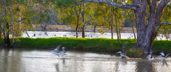 Pelicans taking off near the Murray River.