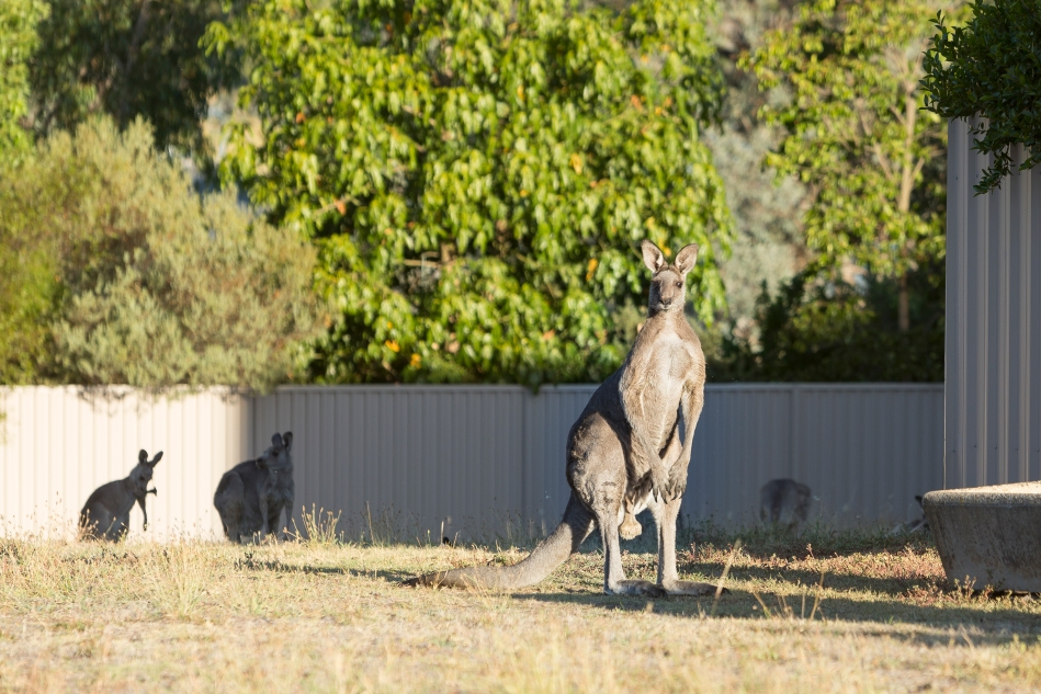 The male keeping an eye on us as we were watching the bush fire.