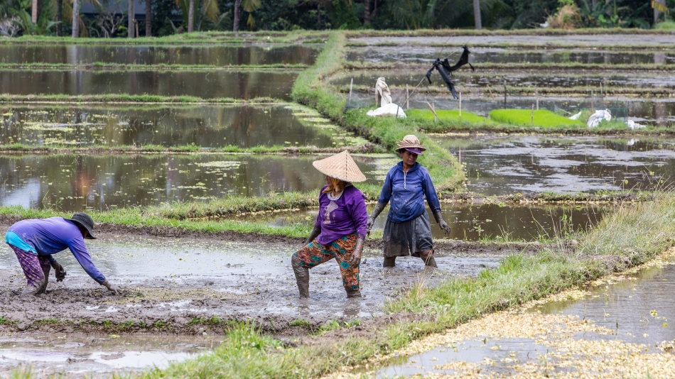 Rice Field Workers
