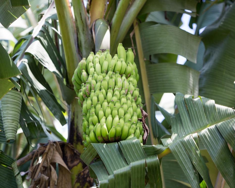 Bunch a Bananas