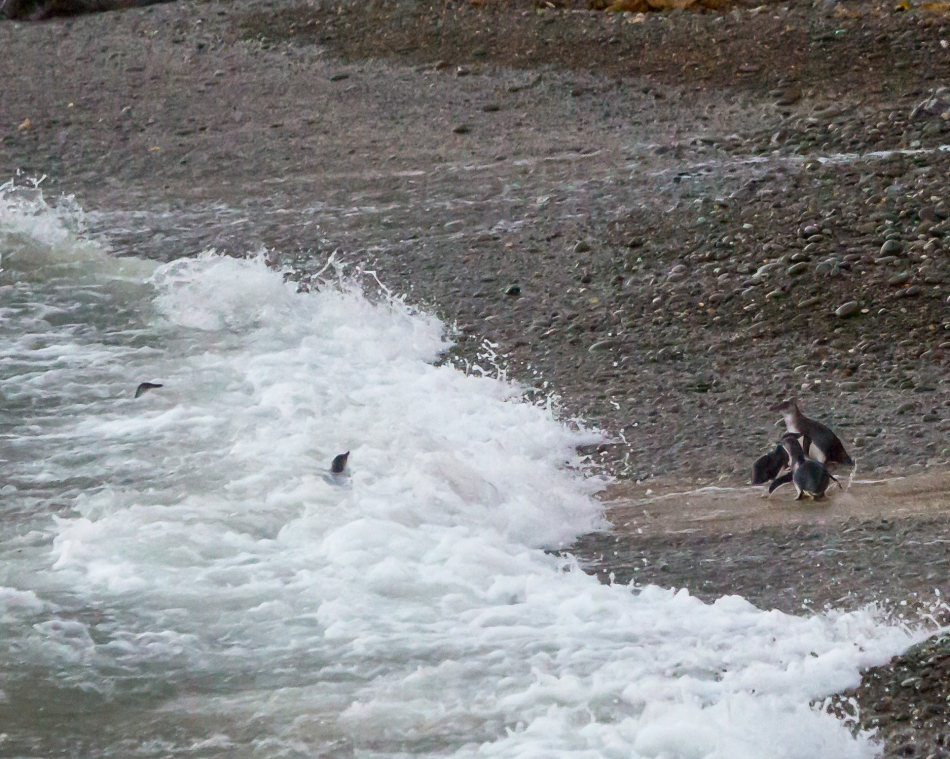 Blue footed Penguins coming ashore in Oamaru