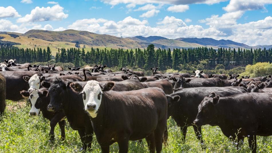 Kiwi Cattle