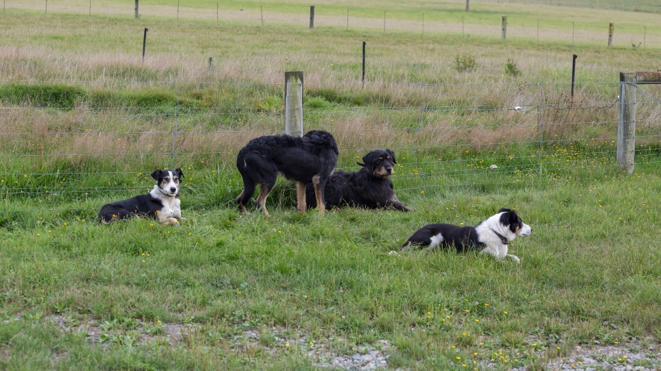 Hard Working Sheep Dogs