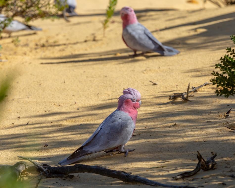 Galah Cockatoos
