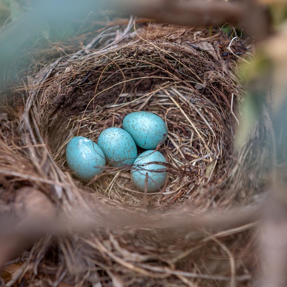Blackbird Eggs - November 19