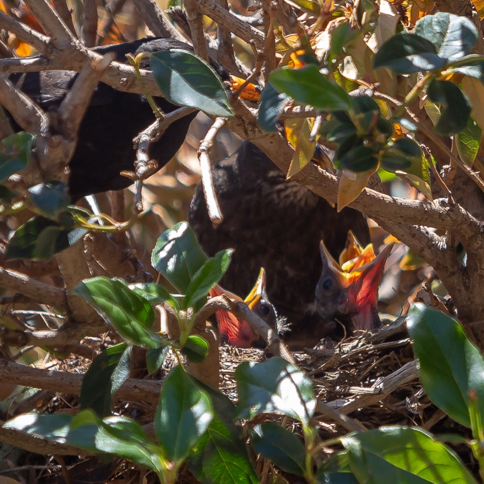 Blackbird Eggs - November 29