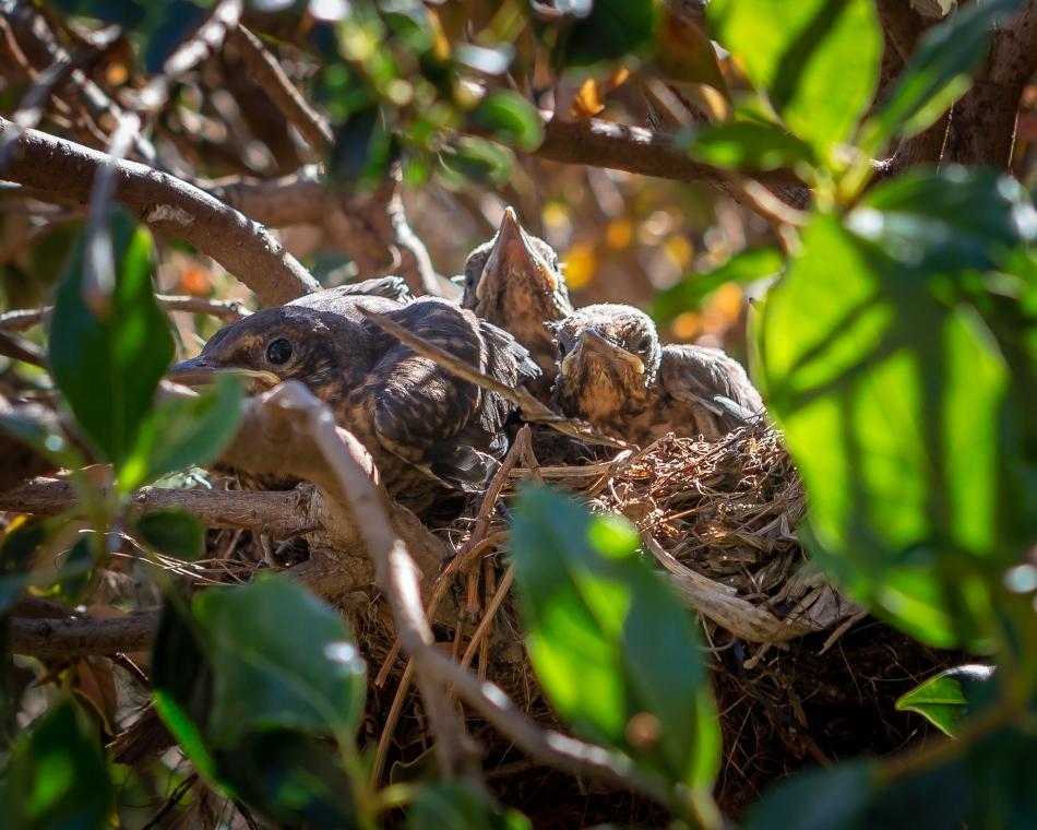 Blackbird Babies - December 5