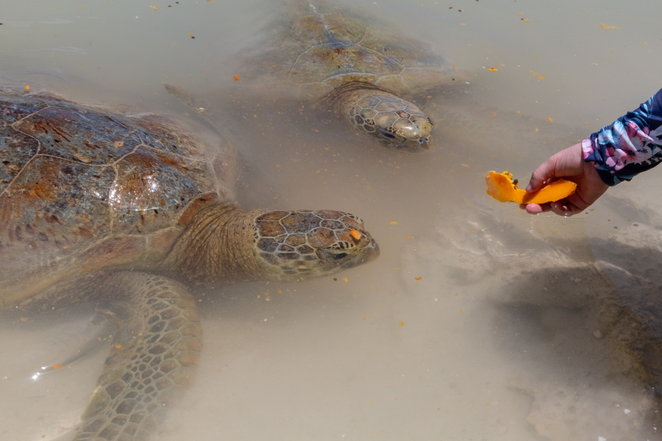 Feeding Green Turtles