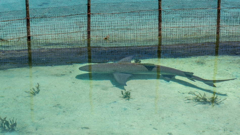 Captive Shark