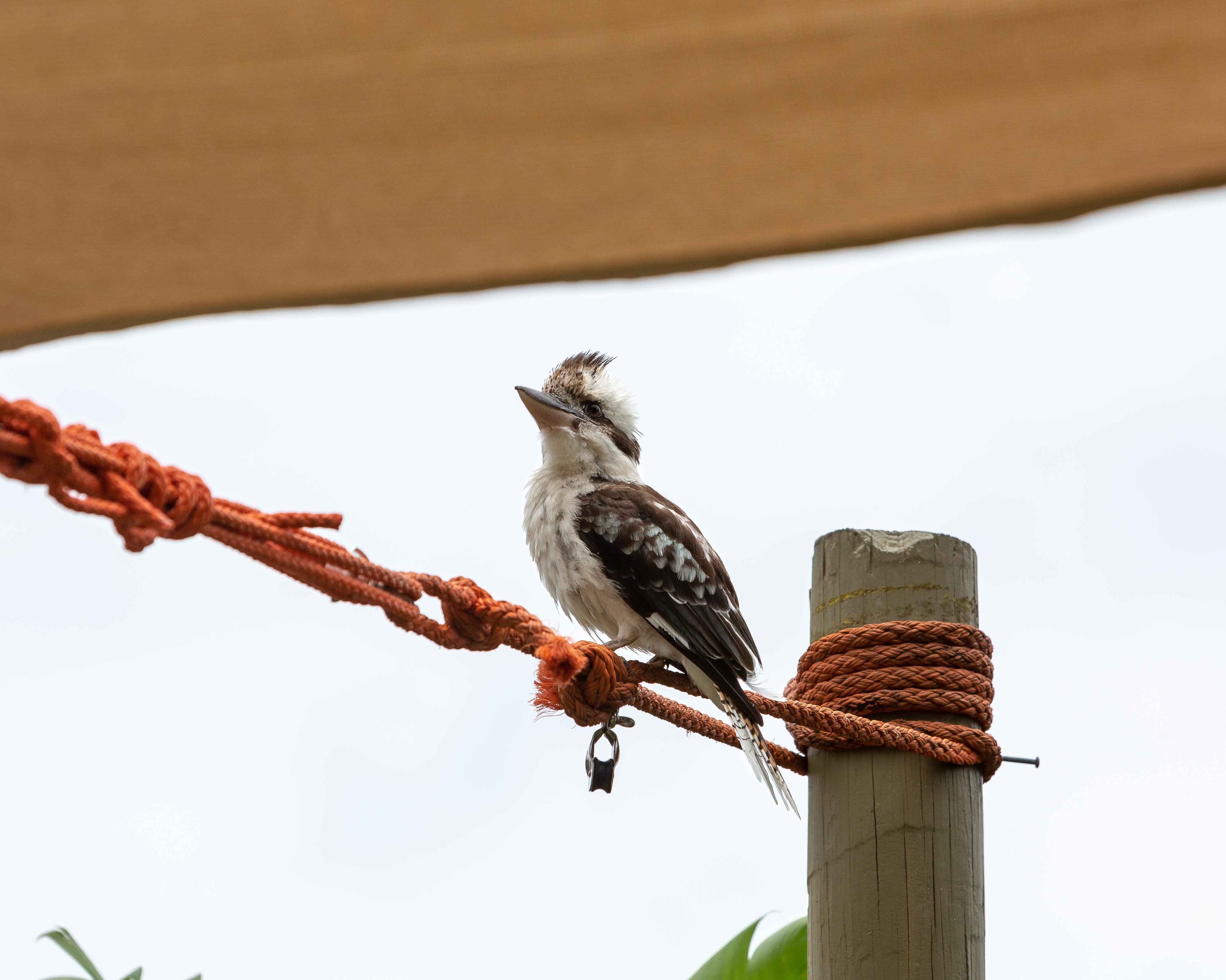 Poolside Kookaburra