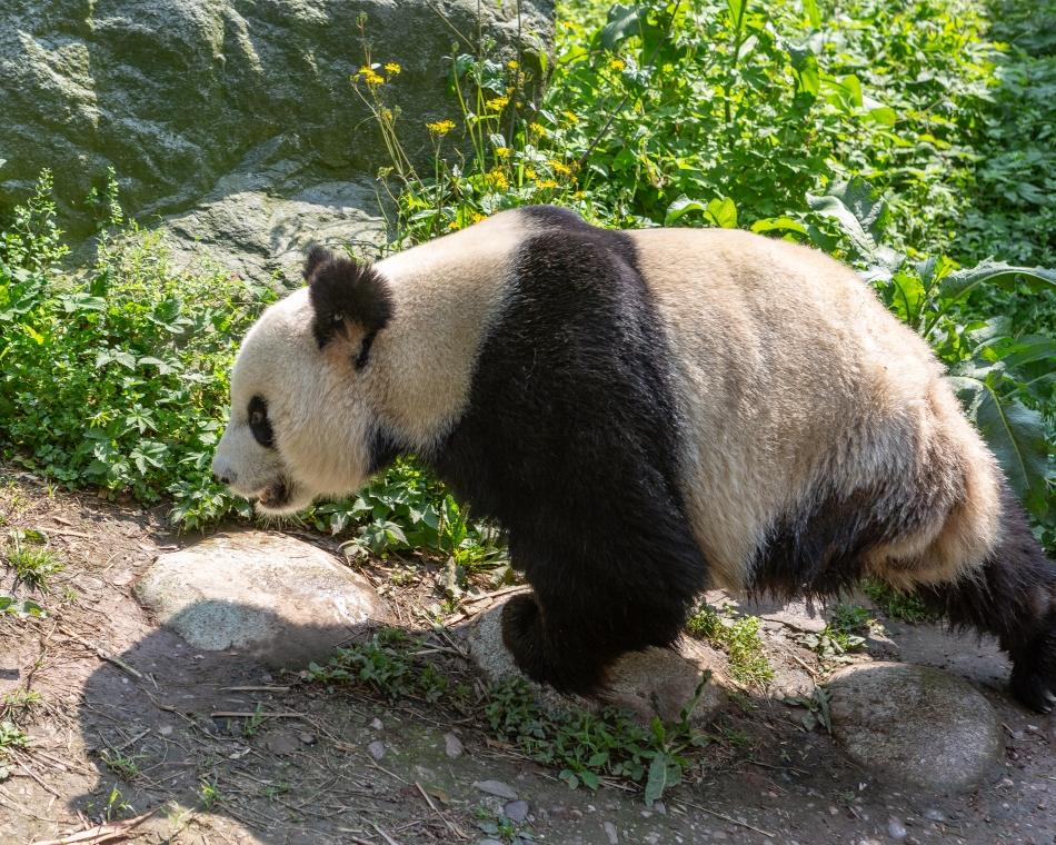 Amputee Panda