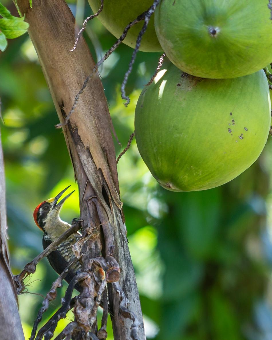 Coconut Pecker