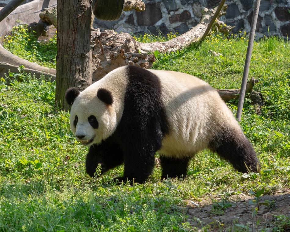 Panda Heaven